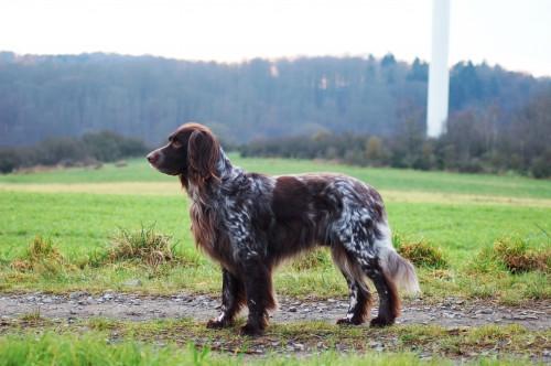 Alf (Aimo) vom Scheuernberg